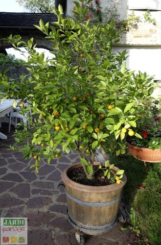 entretenir un kumquat