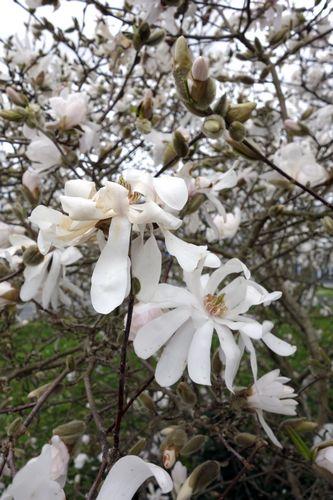 Magnolia stellata petit jardin