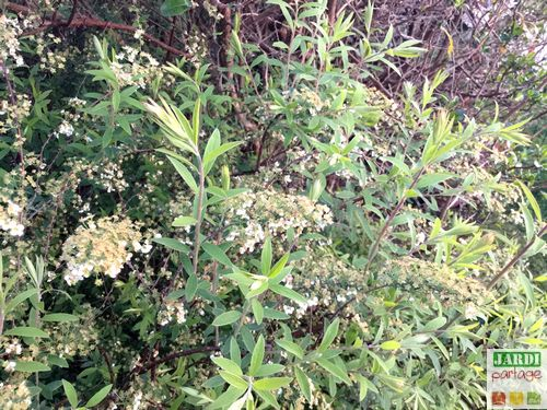 Quand comment tailler la spir e thunbergii jardipartage - Quand tailler les arbres et arbustes ...