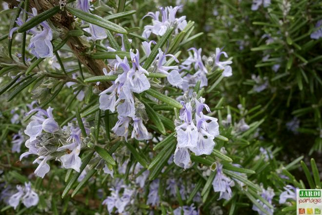 floraison du romarin