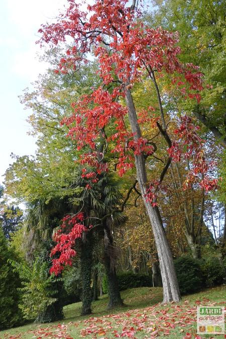 Diospyros kaki automne