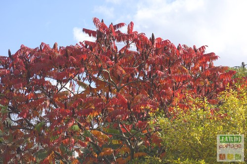 Rhus typhina automne