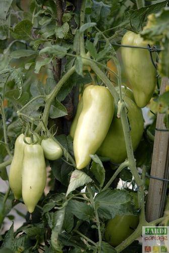 culture de la tomate cornue des andes