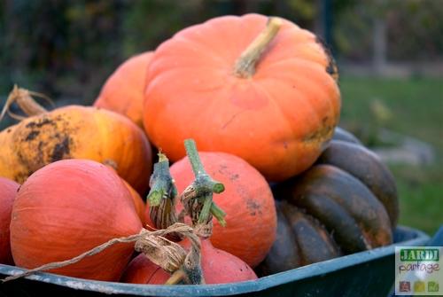 Potager en novembre quels travaux effectuer jardipartage - Quand ramasser les potimarrons ...