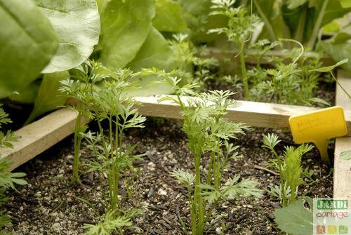 reussir la culture de la carotte