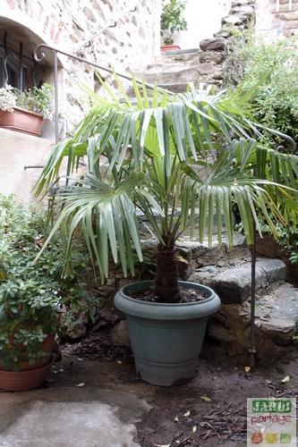 palmier de Chine en pot