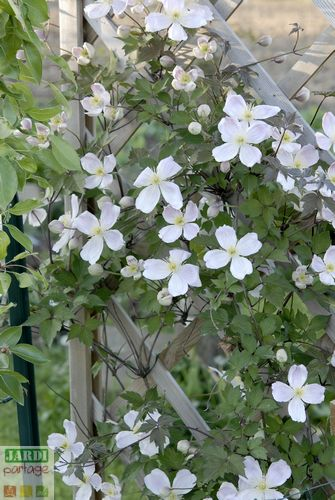 clematis montana giant star