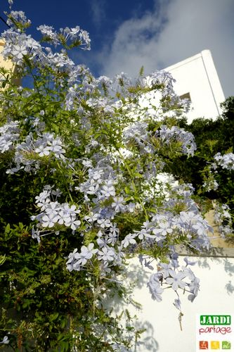 plumbago resistance au froid