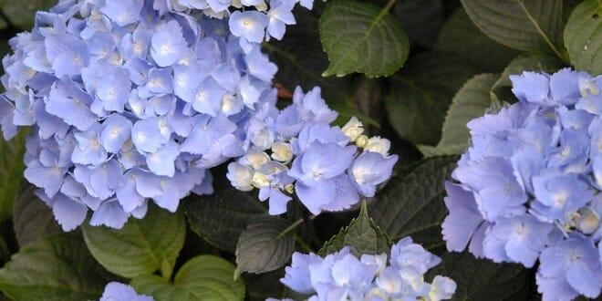 Quand et comment bouturer un hortensia jardipartage - Comment bouturer un hortensia ...