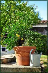 le rempotage du citronnier jardipartage