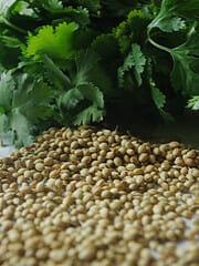Récolter les graines de coriandre