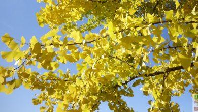 gingko-biloba-arbre
