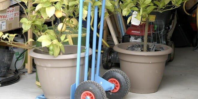 Hivernez vos plantes en pots: agrumes…