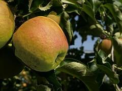 Quel pommier planter dans l'Est de la France ?