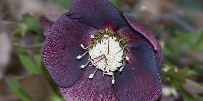 fleurs d'hiver helleborus orientalis