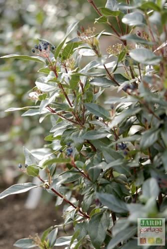laurier-tin viburnum