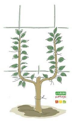 comment tailler les arbres fruitiers la taille de la. Black Bedroom Furniture Sets. Home Design Ideas