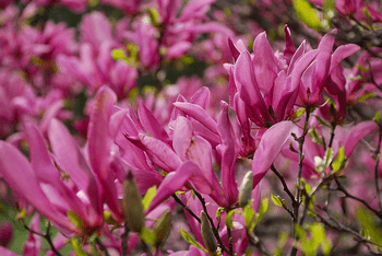 Des variétés de magnolias adaptées aux petits jardins