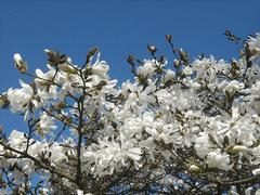 magnolia stellata étoilé