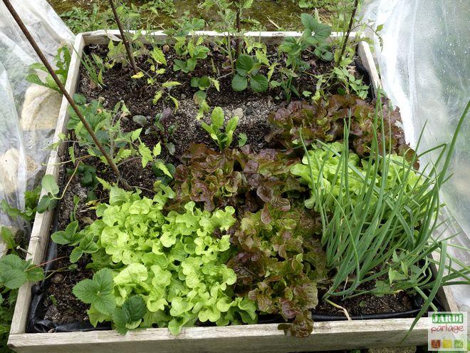 associer plantes potager