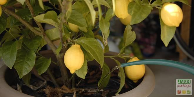 entretien citronnier pintemps
