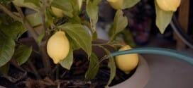 L'entretien du citronnier au printemps