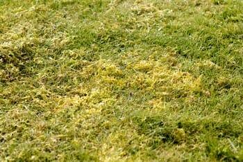 Scarifier sa pelouse pour la rénover