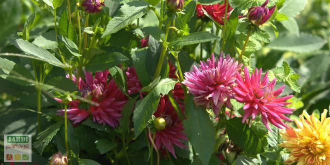 plantation dahlias fleurs