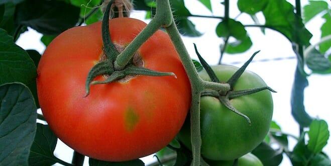 8 ( bons) conseils pour la culture des tomates !