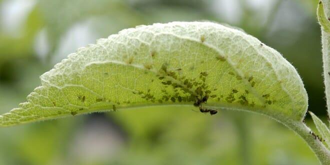 Une prolifération de pucerons et de fourmis sur les feuilles de pommier.