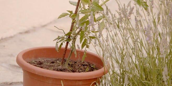 r 233 ussir la culture de tomate en pot jardipartage