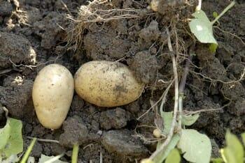 Arracher les pommes de terre