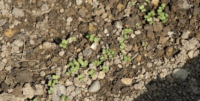 comment semer des navets