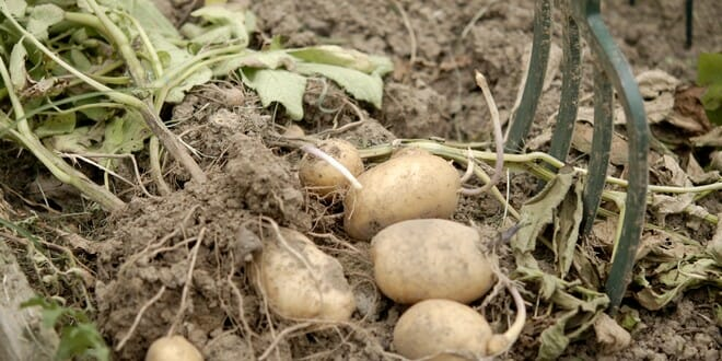 Quand r colter les pommes de terre jardipartage - Quand semer les pommes de terre ...