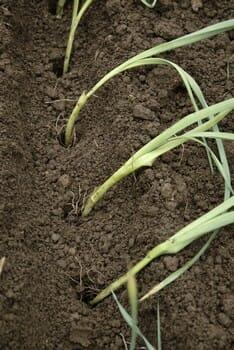Planter des poireaux d'hiver