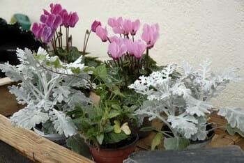 composition jardinière avec des cyclamens