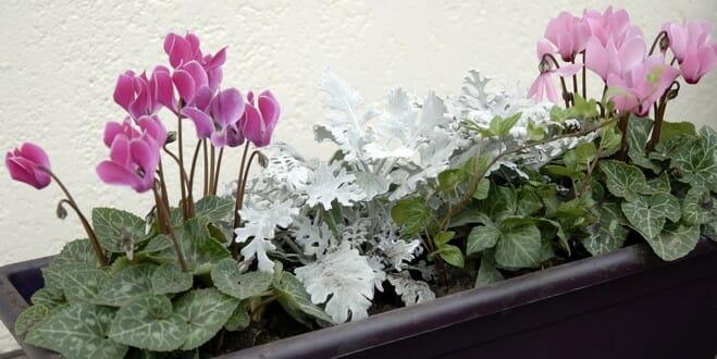 Une jardinière pour l'automne et l'hiver autour de cyclamens