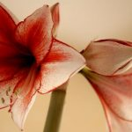 amaryllis comment planter