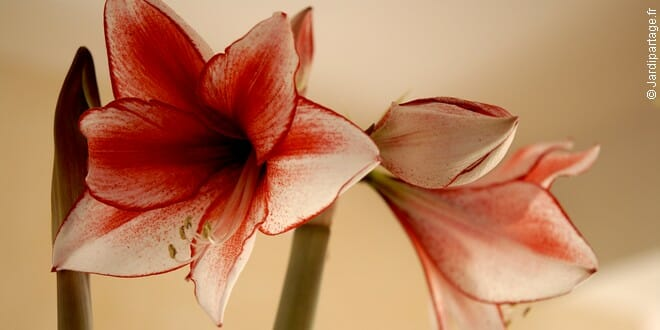 Photo of Succombez cet hiver au charme de l'amaryllis !