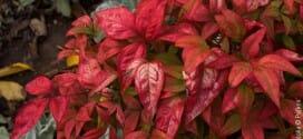 Nandina domestica, un petit air japonais au jardin…
