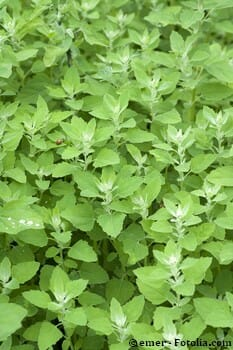 Atriplex hortensis culture