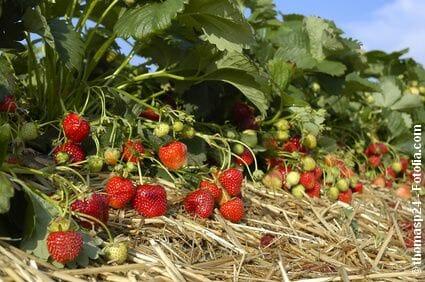 Entretien des fraisiers l'hiver