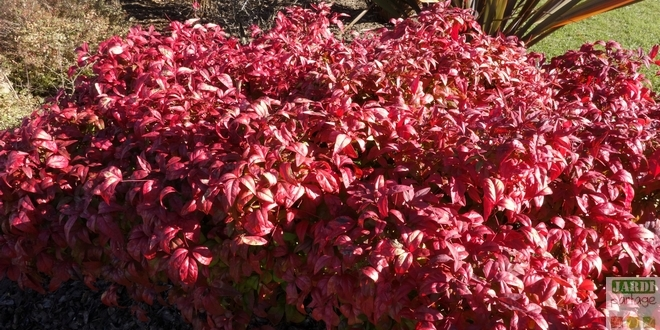 Photo of Nandina domestica, un petit air japonais au jardin…