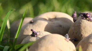 Pommes de terre sur gazon