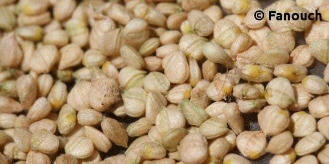 Culture de la mâche: comment récolter ses graines ? | Jardipartage