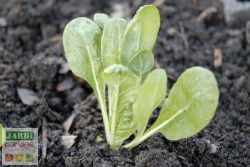 semis de blettes