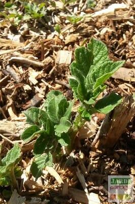 Cultiver des pommes de terre sur compost