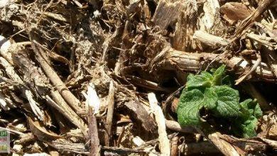 Pommes de terre sans travailler le sol