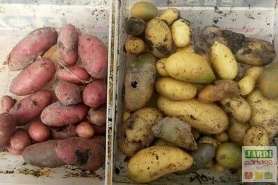 Récolte des pommes de terre sur compost