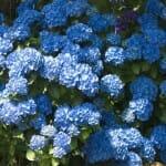 Obtenir des hortensias bleus